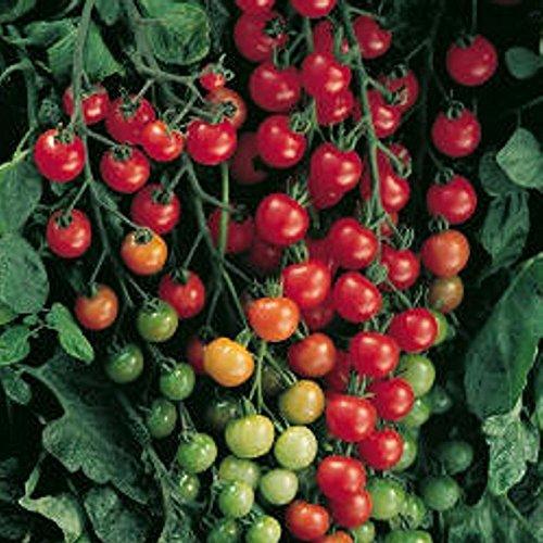 Liveseeds - Wildtomate rot - krankheitsresistent - auch für Wanne oder Suspension - 30 Samen