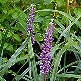 lichtnelke - Traubenlilie (Liriope muscari ) Ingwersen