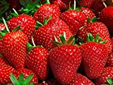 Strawberry Mignonette Fruit Seeds by Kraft Seeds