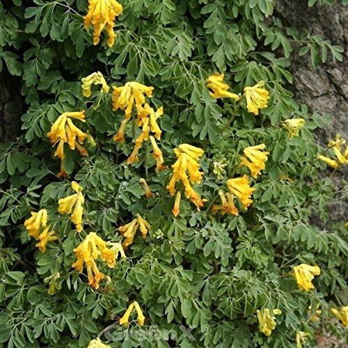 Lerchensporn Canary Feather - Corydalis cultorum