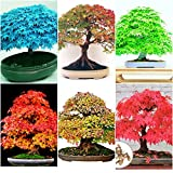 #5: Floral Treasure Bonsai Suitable Maple Tree Seeds (6 Varieties)