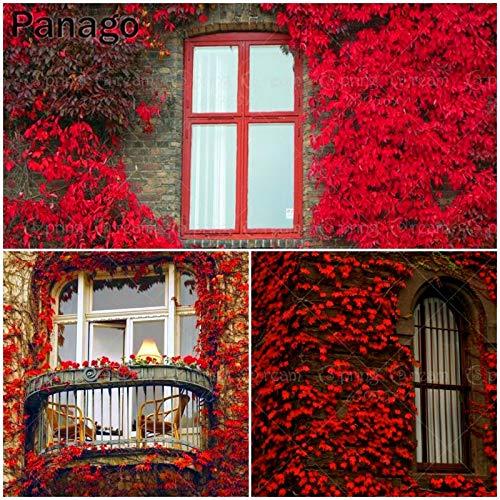 Pinkdose 50pcs / bag rossa vite bonsai perenne pianta di vite esterna fai da te parete casa casa piante rampicanti pianta rara novel