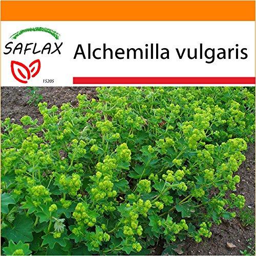 SAFLAX - Garden in the Bag - Heilpflanzen - Frauenmantel - 100 Samen - Alchemilla vulgaris - Garden In A Bag