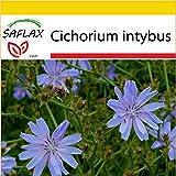 SAFLAX - Anzucht Set - Heilpflanzen - Wegwarte - 250 Samen - Cichorium intybus