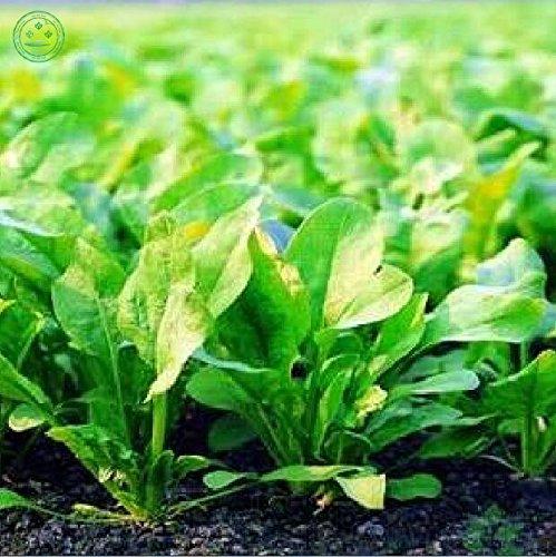 graines d'épinards feuilles de salade bon goût non - OGM plantes bricolage jardin de la maison 100 graines de W85