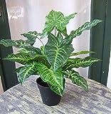 Künstliche Nephthytis Pflanze getopft ca. 45cm Top Qualität