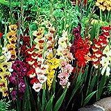 Eden-blumen 100 Stück Riesen Gladiolen Sammlung, Gartenpapagei Gladiolen Mischung Zwiebeln Gladiolen-Blumen Samen Winterharte mehrjährige Zierblumen für Barkon, Garten