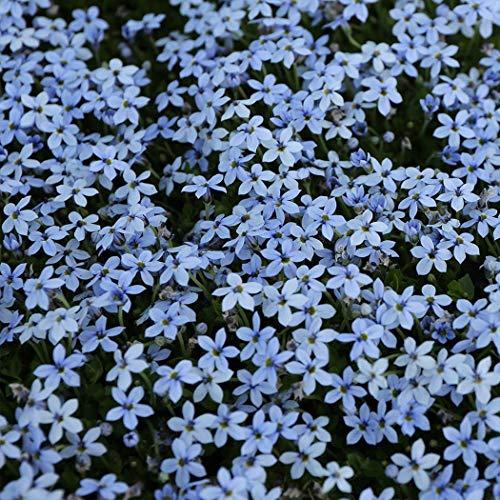 Cioler 100 Stück Blauer Bodendecker Samen Kletterpflanze Samen Bodendeckende Polsterstauden-Kollektion Blumensamen mehrjährig winterhart Zierpflanzen für Garten