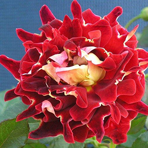 ruffle-rose-mystique-1-rose