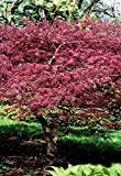 Palmenmann Roter Fächer-Ahorn (Atropurpureum) - Acer palmatum Atropurpureum