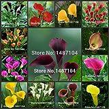 Arum 50pcs - Zantedeschia graines de fleurs aethiopica (Non ampoules)