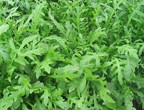 100 Samen Wasabi Rucola Wildfire Samen, Diplotaxis Tenuifolia, neue Züchtung,sehr scharf