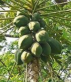 Papaya Carica papaya Melonenbaum Papayabaum Pflanze 20cm essbare süße Früchte