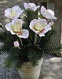 PLANT&STYLE Künstliche Christrosen mit Tanne im Topf, weiß-rosa, 33cm