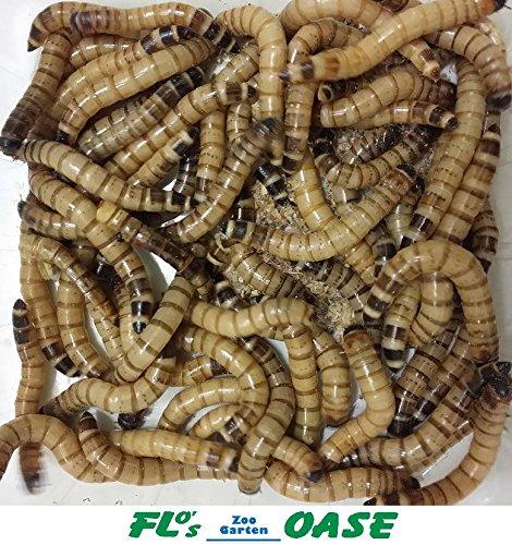Wüstenheuschrecken mittel 50 Stück Futterinsekten Reptilienfutter Futtertiere Vogelfutter