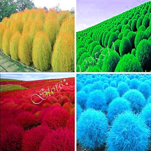 100-semi-pezzi-erba-perenne-erba-roveto-ardente-kochia-scoparia-semi-rossi-giardino-ornamentale