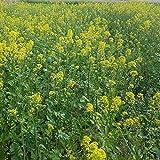 PLAT FIRM Germinazione dei semi: Outsidepride giallo senape Herb Plant Seed - 5000 Semi