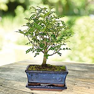 Bonsaï Zanthoxylum Broom Pot 15cm - 1 arbre