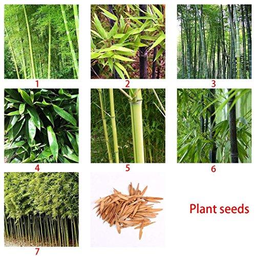 Ncient Bambou Seeds, Graines de Bambou Noir Phyllostachys Moso Nigra Henonis Bambou Bambou Violet Graines-semences Maison et Décorations de Jardin