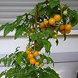10 Samen Yellow Canary Tomate – ertragreiche Balkontomate, süße Früchte