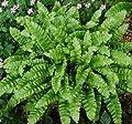 Hirschzungenfarn Crispa - Phyllitis scolopendrium von Baumschule bei Du und dein Garten