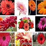 Fresh 100/lot Gerbera Samen Real Touch Blume Samen Mehrfarbig