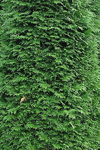 Lebensbaum/Thuja Plicata Martin 175-200cm