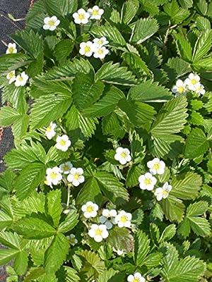 Fragaria vesca - Wald-Erdbeere, 50 Pflanzen von Dachstauden - Du und dein Garten