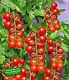 BALDUR-Garten TOMACCIO®-Tomate, 2 Pflanzen Tomatenpflanze Tomaten getrocknet Trockentomaten