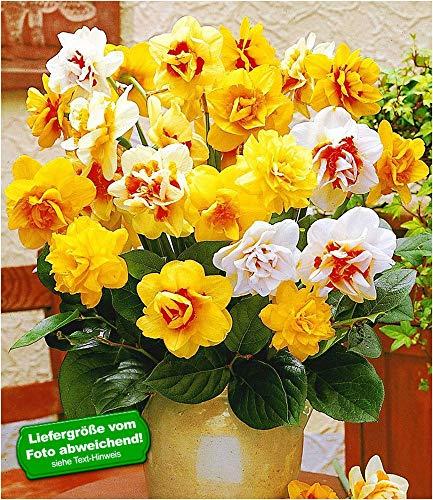 BALDUR-Garten Doppelt gefüllte Narzissen Prachtmix 50 Zwiebeln Narcissus