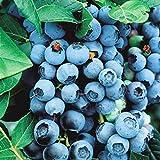 Frutti di bosco PIANTA DI MIRTILLO-VACCINIUM MYRTILLUS - antiossidante*pianta vera*
