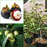 Vamsha Nature Care Tropical Fruit Thai Variety Garcinia Healthy Live Mangostana Plant (Purple)