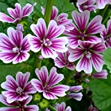 lamta1k 100Pcs Hermosa Flor Semillas Malva Sinensis Bonsai Jardín Planta Calidad y Alta tasa de Supervivencia Decoración - Malva Sinensis Semillas