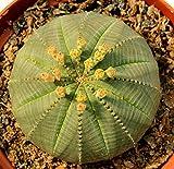 PIANTE GRASSE VERE RARE Euphorbia Obesa diametrro vaso coltivazione 10cmProduzione Viggiano Cactus