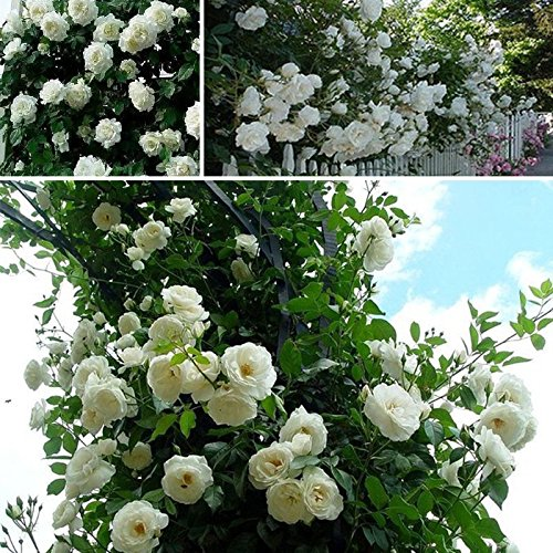 etsynet-new-beautiful-white-climbing-rose-60-seeds