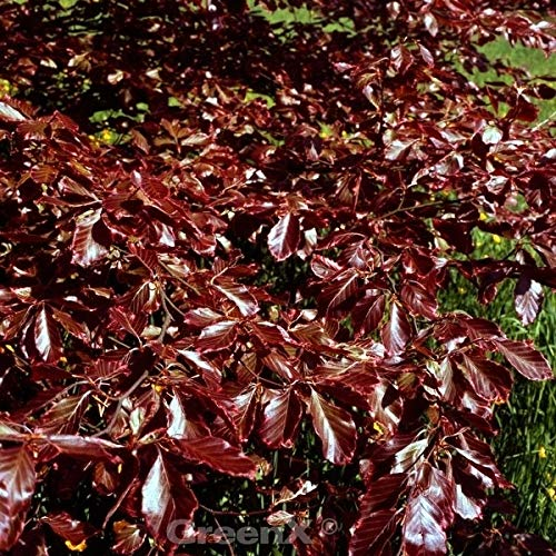 Rotlaubige Buche Long Red 30-40cm – Fagus sylvatica