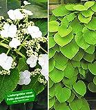 BALDUR-Garten Winterharte Kletterpflanzen-Kollektion, Kletterhortensie (Hydrangea) und Pfeifenwinde 2 Pflanzen