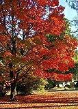 TROPICA - Nordamerikanischer Zucker – Ahorn (Acer saccherum) - 25 Samen