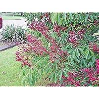 Portal Cool Las semillas del paquete: 5 escarlata Buckeye nueces - Aesculus Pavía 'splendens'
