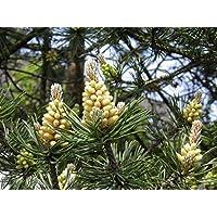 Asklepios-seeds - 150 Semillas Pinus sylvestris Pino silvestre, pino de Valsaín, pino serrano, pino albar, pino del Norte, pino rojo, pino bermejo,