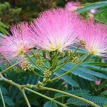 Palmenmann Schlafbaum (Seidenbaum) - Albizia julibrissin