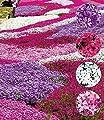 """BALDUR-Garten Phlox-Mix """"Flowers of the Sea"""",8 Pflanzen von Baldur-Garten bei Du und dein Garten"""