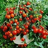 Balkontomate - Buschtomate - rote Cherry - Windowbox red - 20 Samen