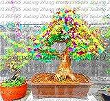 Rare Blau Maple Samen Bonsai-Baum-Pflanzen-Topf-Klage für DIY Hausgarten Japanischer Ahorn-Samen 20 PC / Kinds 1