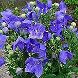 Semi Platycodon Grandiflorum semi del fiore 100 -BUY 4 PUNTI