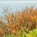 Rotala Vietnam H'ra - Pflanze für Aquarien, 1 Bund