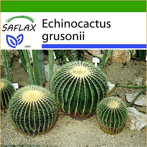 SAFLAX - Kakteen - Schwiegermutterstuhl - 40 Samen - Mit Substrat - Echinocactus grusonii