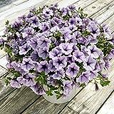 100 piezas colgantes Semillas Semillas Petunia balcón en maceta de flores Petunia que se arrastra semillas de la petunia raras Bonsai Flor Morning Glory Semillas ciruelo