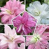 Colección de 10 lirios de loto en 5 variedades, 2 de cada color, lirio cebolla de Holanda, tamaño de cebolla de 14 – 16 cm de