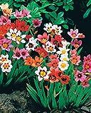 Willemse France 017809 Lot de 25 Plantes Sparaxis Multicolore 11 x 11 x 28 cm